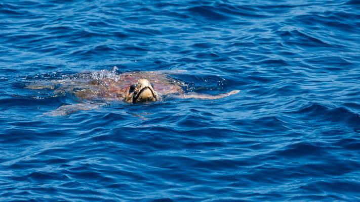 A sea turtle at Platypus Bay, Queensland, Australia