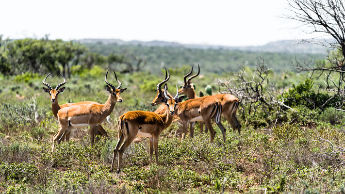 A bachelor herd of Impala at Fort Governors Estate, Eastern Cape, South Africa