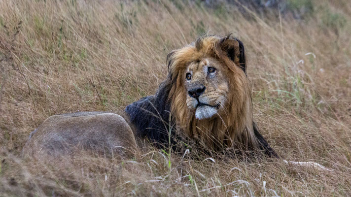A male lion at Shamwari Private Game Reserve, South Africa