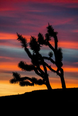 Joshua tree in Arizona, USA, after sunset