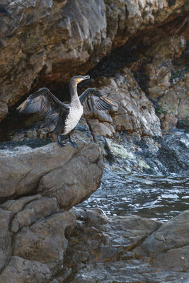A cormorant drying its feathers in Rooi-Els, South Africa