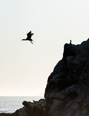 Cormorant flying from rocky shore line in Rooi-Els, South Africa