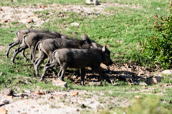 Four Warthog piglets at Fort Governors Estate