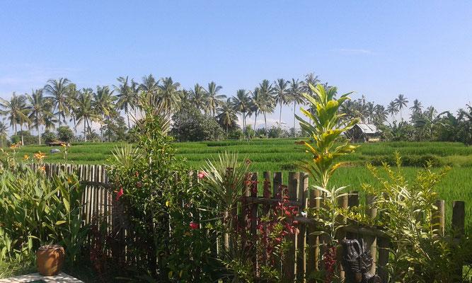 Ausblick von den Gäste Zimmern auf die Palmen und die Reis Felder