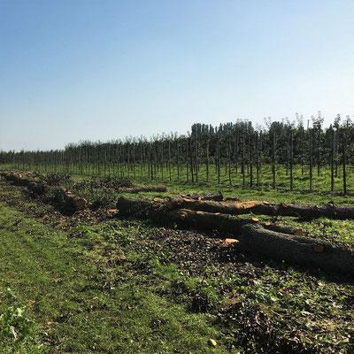Birne Birnbaum Rundholz Obstplantage Altes Land