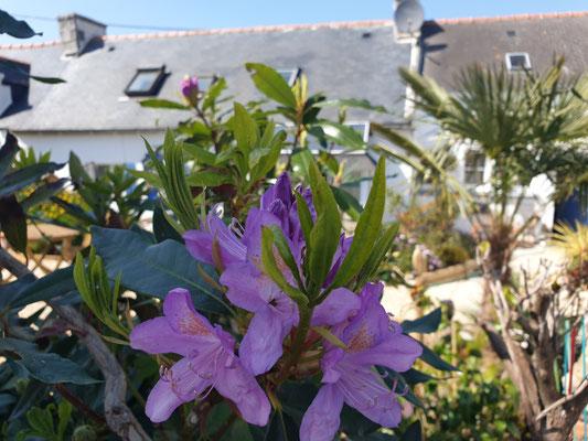Blumenpracht Bretagne