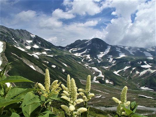 コバイケイソウと浄土山と雄山
