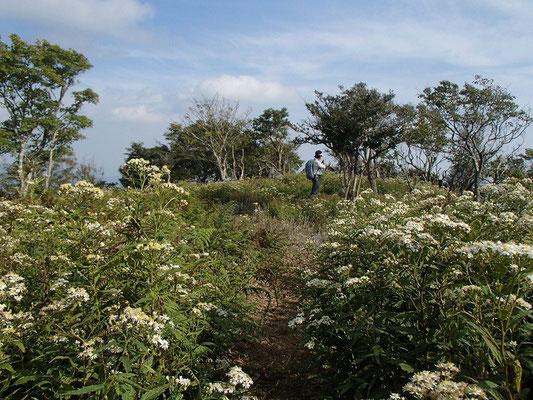 藤原岳周辺もお花畑状態