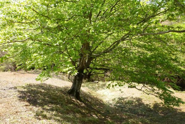 8.佐目小泉のブナの木