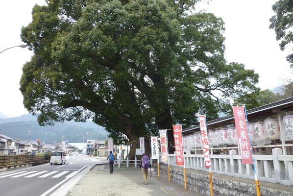 尾鷲神社のとてつもなく大きな御神木。
