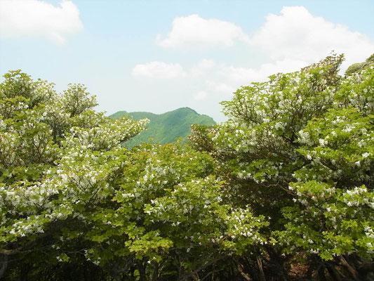 シロヤシオの木間から静ケ岳