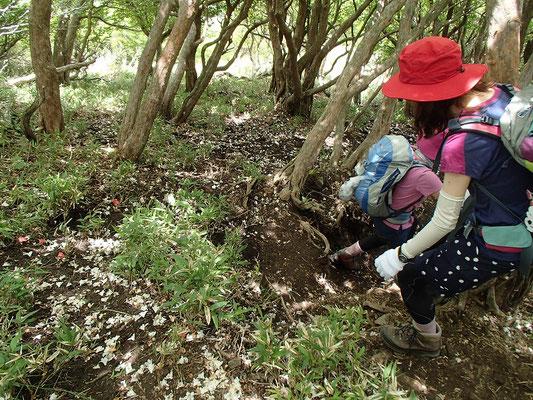 散ったばかりのシロヤシオの花びら…