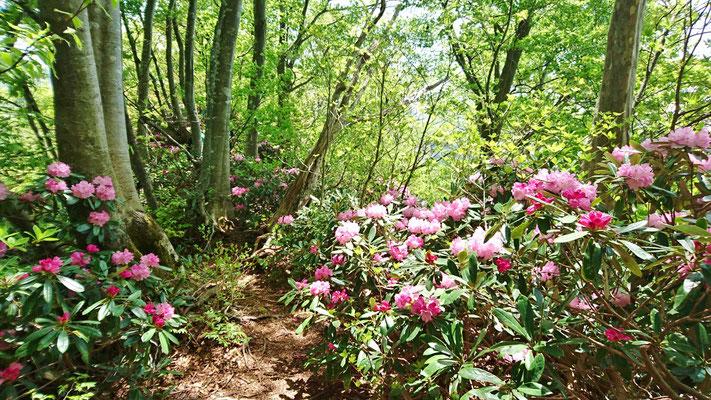 不惑新道はブナ林の下にシャクナゲが咲いている