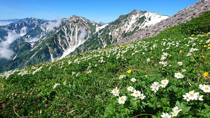小蓮華への縦走路からハクサンイチゲと杓子岳、白馬鑓ケ岳、遠くに五竜岳、鹿島槍ケ岳