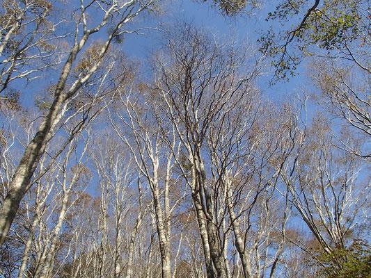 青空とブナの木(この辺は台風の影響で葉がない)