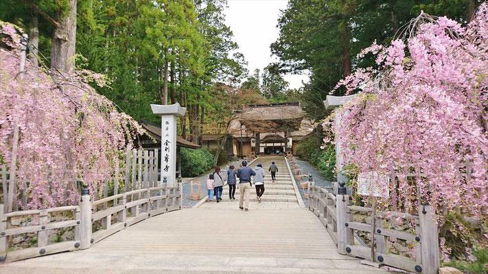 金剛峰寺正門には、枝垂れ桜が満開でした