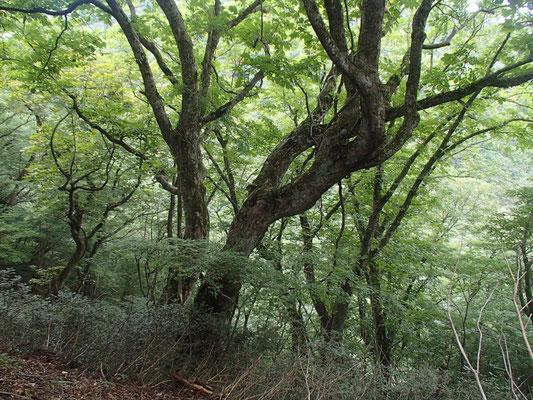 途中にあった巨木