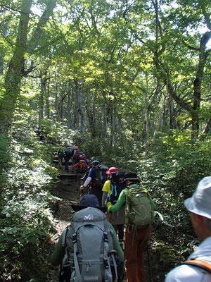 夏道登山道はブナ林の中の階段状の道です