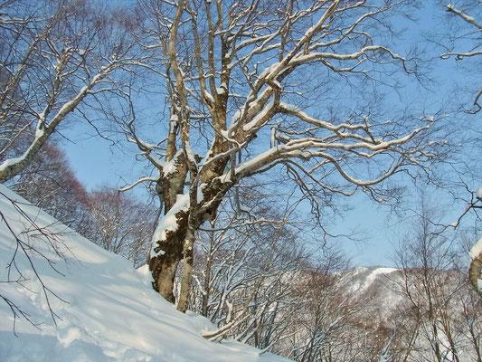 巨木も雪化粧