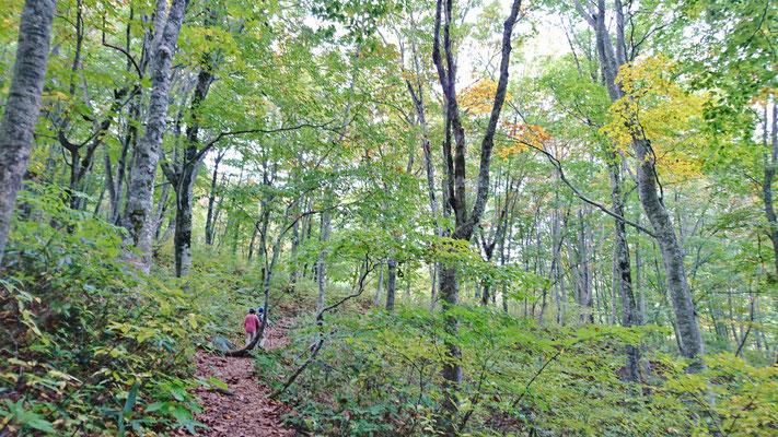 散策コースのブナ林、世界遺産です
