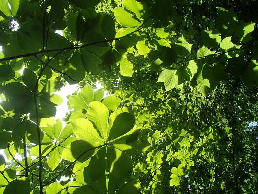 ホオの葉 緑の透過光がキレイ