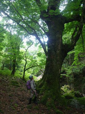 栃巨木。幹回り4m以上。
