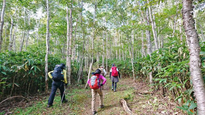 2~4合目はシラカバ林の中を登ります。