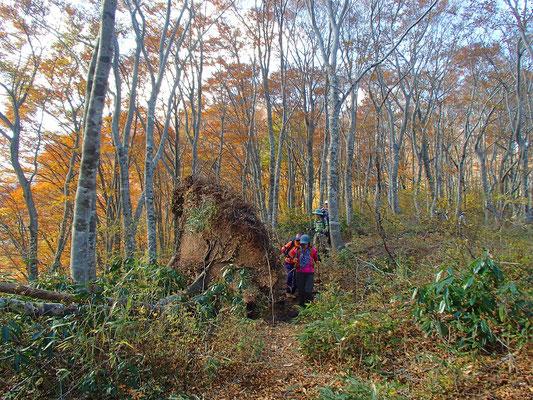 17木が倒れ、こんな大きな根が持ち上がっていました