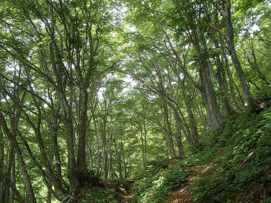 ブナ林 新緑が美しい