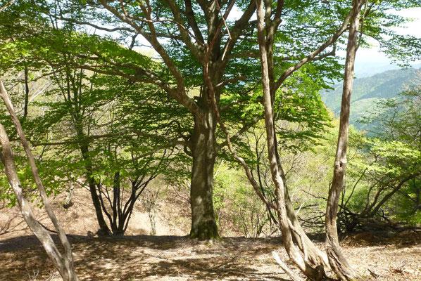 八ケ峰へ美しいブナの木