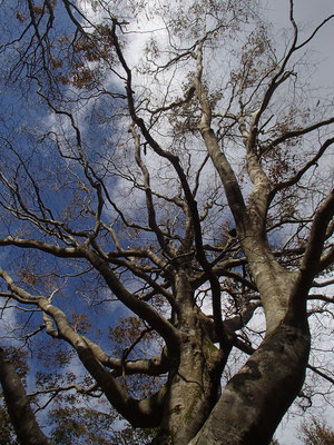 高島トレイルから離れて福井県の方に入った所にもブナの大木がありました
