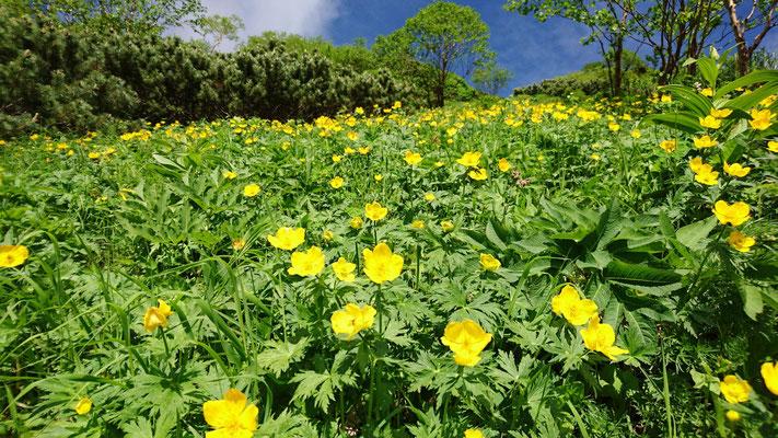 帰りのシナノキンバイのお花畑も青空に映えます