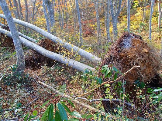 16この前の台風の影響で根こそぎ倒れたブナがいっぱい