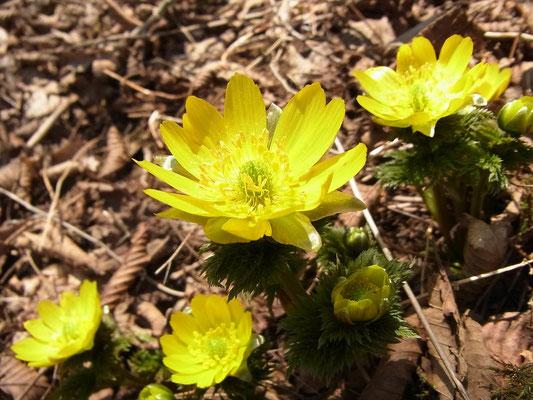 キンポウゲ科の福寿草、花びらが光っています