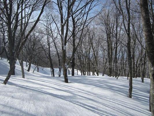 標高950m辺りのブナの2次林。