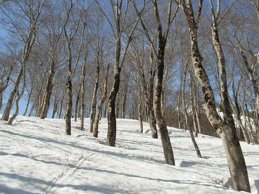 ブナ林の中を登行します。木々の根元は穴が開いているところも。