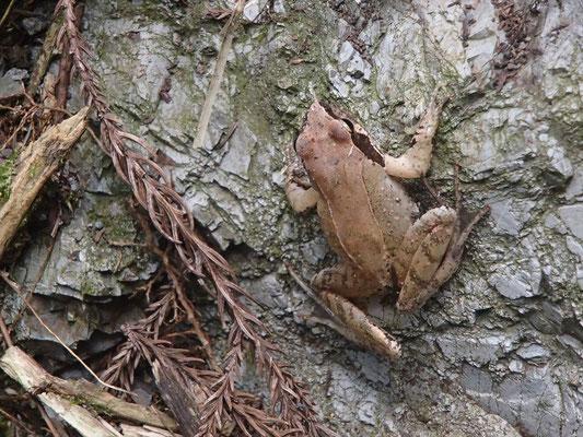 今日はこんな蛙がいました