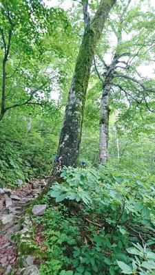 ブナ林の中を歩きます