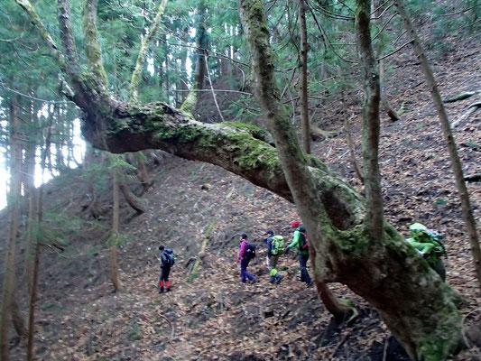 次々と現われる巨木の傍を通っていきます
