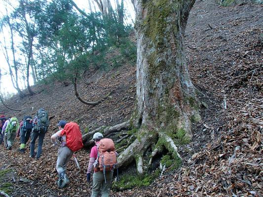 ここにも巨木です