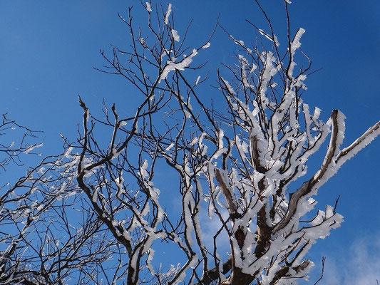2~3cmぐらいの樹氷が枝の風上側に付いていました
