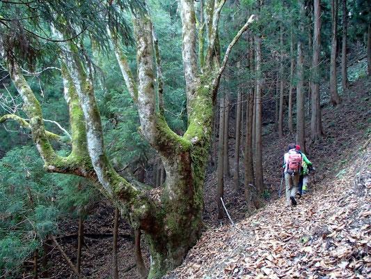 トチの巨木が現われました