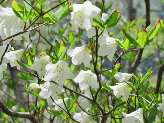シロヤシオが咲いているとは知りませんでした。