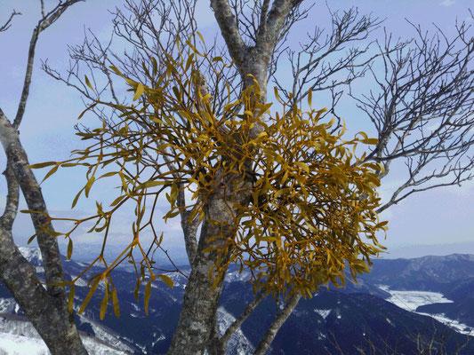 山頂でやどり木を発見