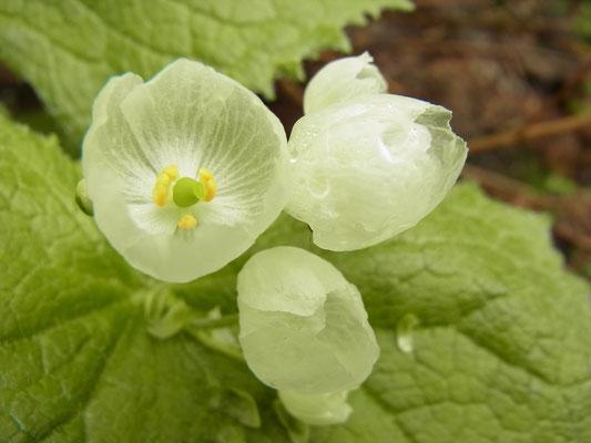 サンカヨウの花は水に濡れると透き通ります。