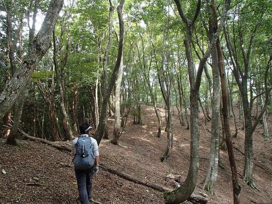 T字尾根はきれいなブナ林です