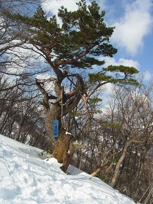 「仁王の松」厳冬を生き抜いて