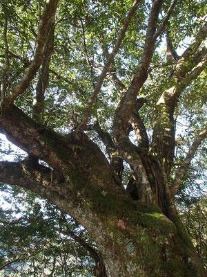途中、こんな巨木がありました