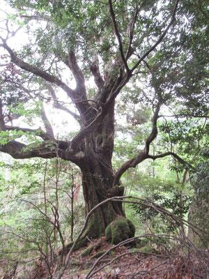 アカガシの巨木