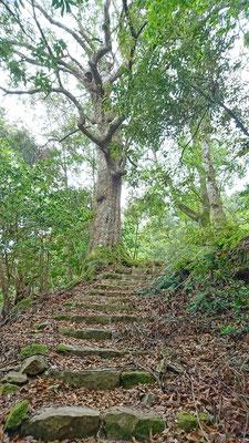 アカガシの大木と岳観音跡へ続く石段